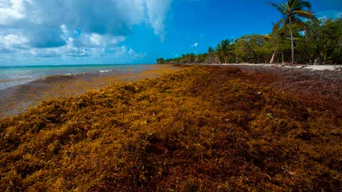 Mounds of sargassum form on the Salines beach in the city of Le Gosier on the French Caribbean island of Guadeloupe on April 23, 2018. (Helene Valenzuela/AFP/Getty Images)