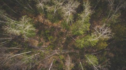 Tannenarten Weihnachtsbaum.Bis Zu 50 Prozent Vertrocknet Dürre Fordert Weihnachtsbäume The