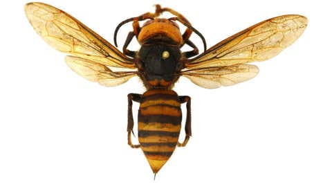 The Asian giant hornet has been found in northwest Washington state. A group of the aggressive insects can wipe out a beehive in a matter of hours. (Washington State Department of Agriculture)