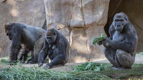 Members of the gorilla troop at the San Diego Zoo Safari Park in Escondido, Californiaa, are seen in their habitat on Sunday, January 10, 2021. Several gorillas at the zoo have tested positive for the coronavirus in what is believed to be the first known cases among such primates in the United States and possibly the world. (Ken Bohn/San Diego Zoo Safari Park via AP)