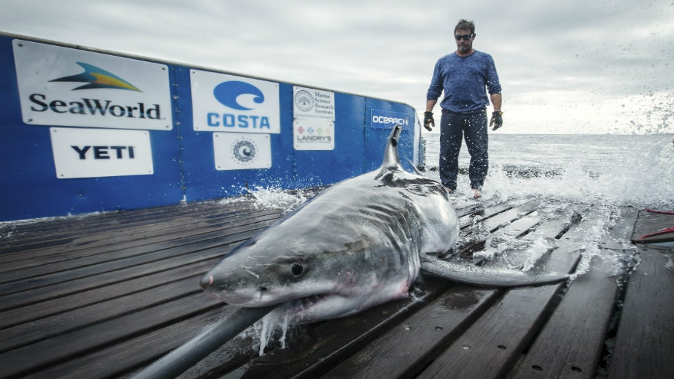 Great White Shark Tracked in Long Island Sound Ahead of Memorial Day