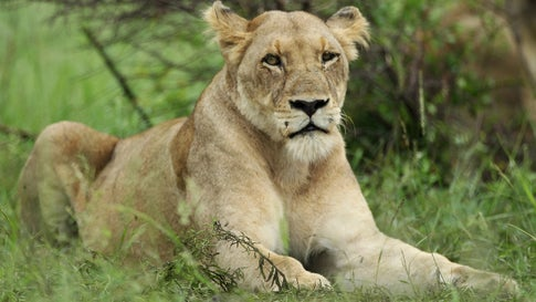 Dozens of Lions Allowed to Roam Free in South African Town