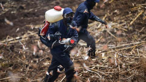 Members of the National Youth Service spray pesticide on locusts at a farm in Elburgon, in Nakuru county, Kenya, on March 17, 2021. (AP Photo/Brian Inganga)