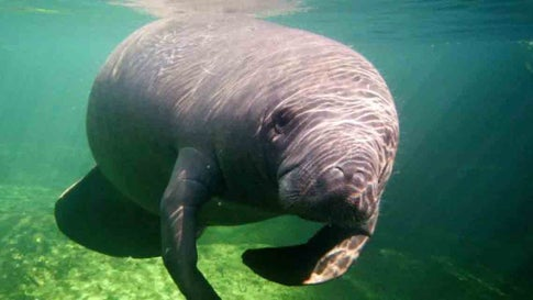 A manatee swims at Blue Spring State Park in Orange City, Florida.