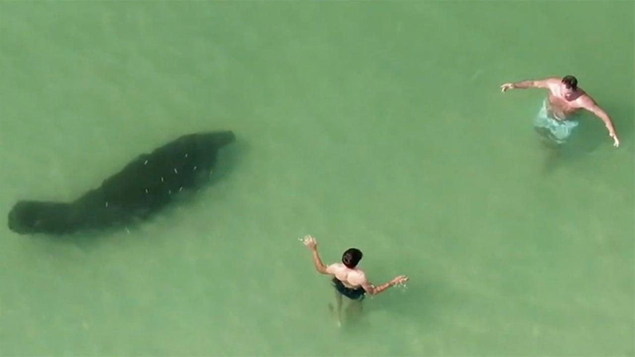 FL Beachgoers Fail to Notice Massive Manatee