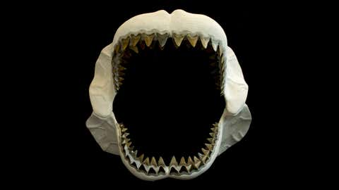 No complete fossilized jaw of a megalodon has been found because the skeleton was made of cartilidge that long ago decomposed. Fossilized teeth and a few, rare vertebrae have been found. (Florida Museum of Natural History/Jeff Gage)