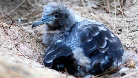 A seabird chick sits next to its burrow on Midway Atoll on October 15, 2019. (AP Photo/Caleb Jones)