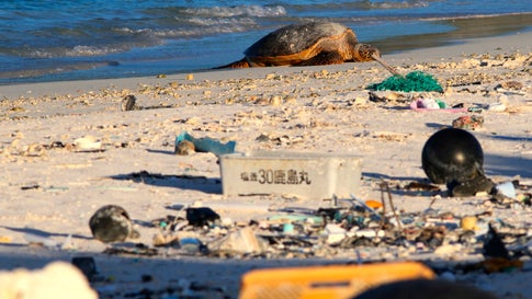 A green sea turtle rests on the beach among marine debris on Midway Atoll on October 15, 2019. (AP Photo/Caleb Jones)