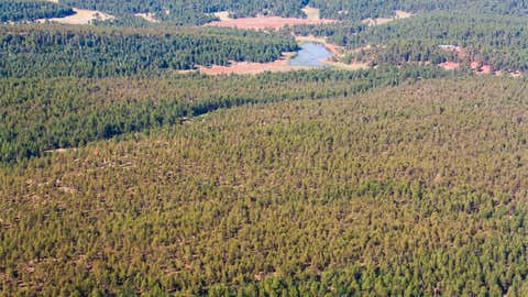 These ponderosa pines near Gurman Canyon in the Zuni Mountains of northwestern New Mexico are discolored because of drought stress.  (Dan Ryerson/U.S. Forest Service)