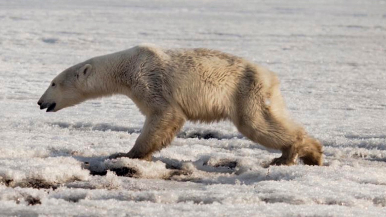 Polar Bear Found Wandering in Russian Village Is Returned to Its Home