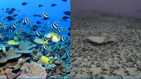 The photo on the left shows a school of fish on Rapture Reef in the French Frigate Shoals before Hurricane Walaka passed over the area last year. The photo on the right shows the same reef now. (NOAA)