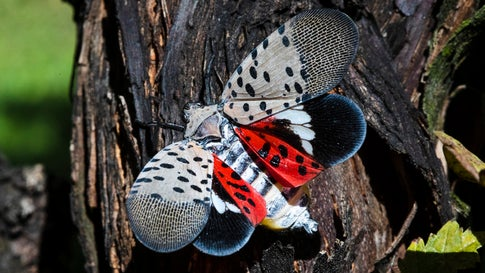 A spotted lanternfly sits in a vineyard in Kutztown, Pennsylvania, on September 19, 2019. The spotted lanternfly has emerged as a serious pest since the federal government confirmed its arrival in southeastern Pennsylvania five years ago this week. (AP Photo/Matt Rourke)