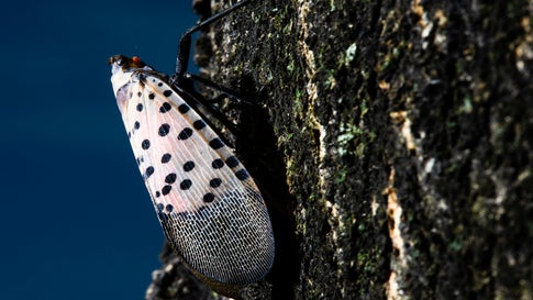 The spotted lanternfly was first discovered in the U.S. in 2014. (AP Photo/Matt Rourke)