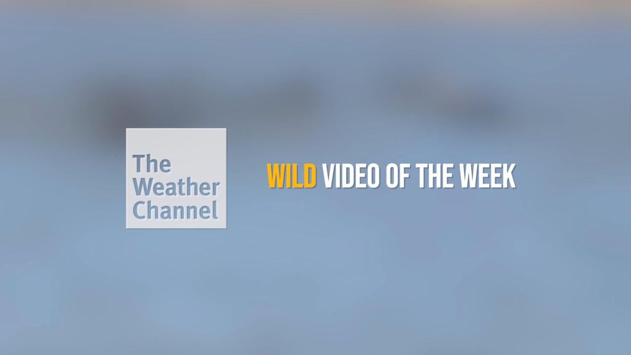Wild video of the week