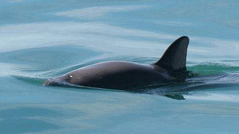 The tiny vaquita porpoise will likely go extinct in the next few years, as less than 30 are left in the world. (Wikimedia Commons)