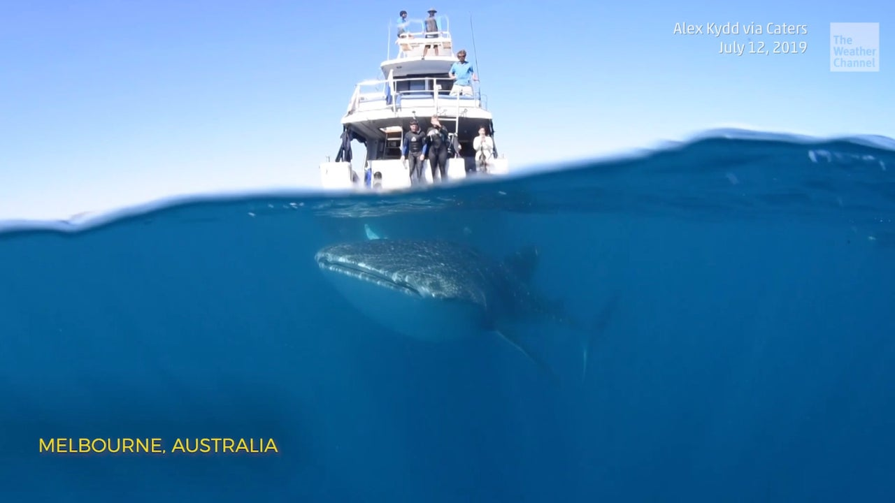 A photographer captures incredible video of a giant whale shark under a boat off the coast of Australia.