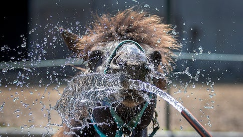 An Icelandic horse is sprayed with water in Wehrheim near Frankfurt, Germany, on a hot and sunny Wednesday, June 26, 2019. Hot temperatures are expected all over Europe. (AP Photo/Michael Probst)