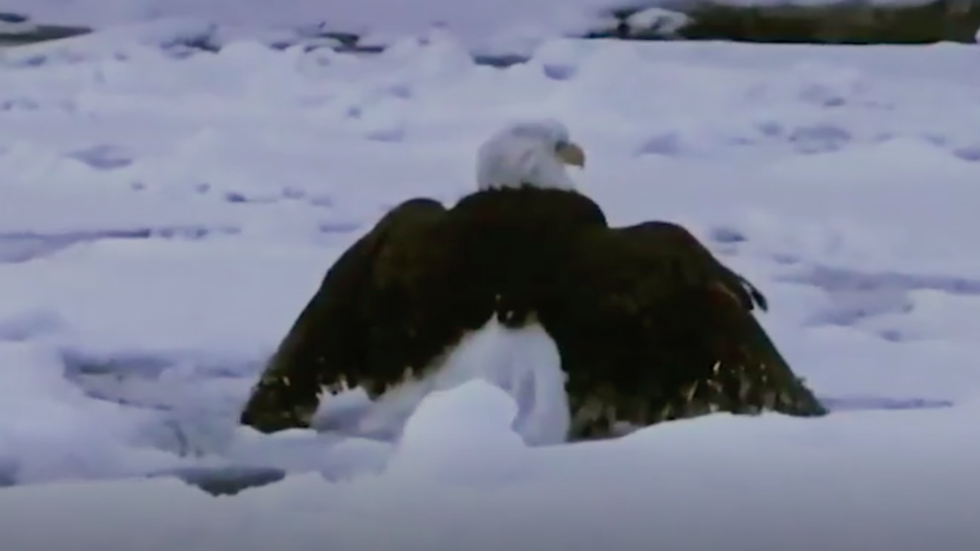 Bald Eagle Found Trapped In Ice On One Of Great Lakes