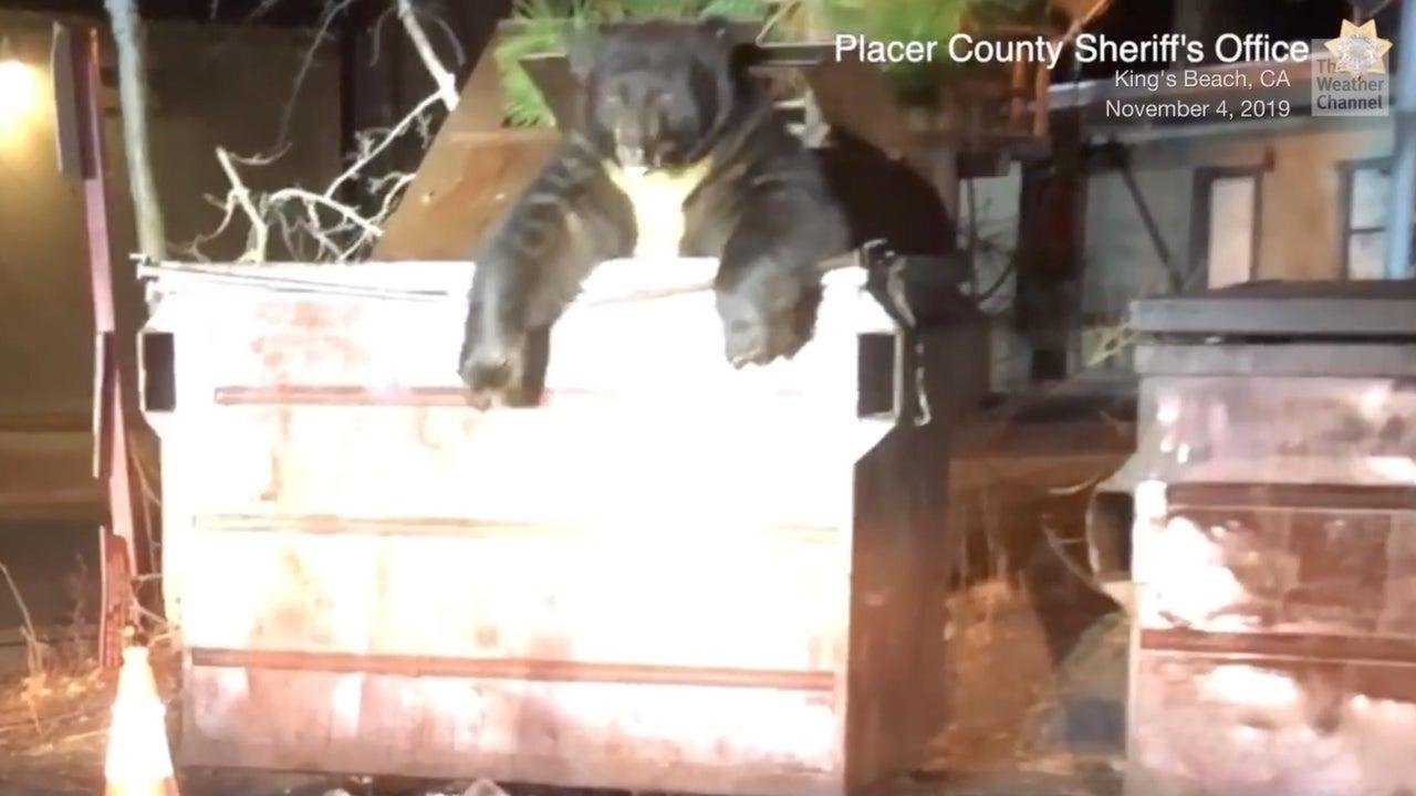 Very Chubby Bear Stuck in Dumpster Gets Help