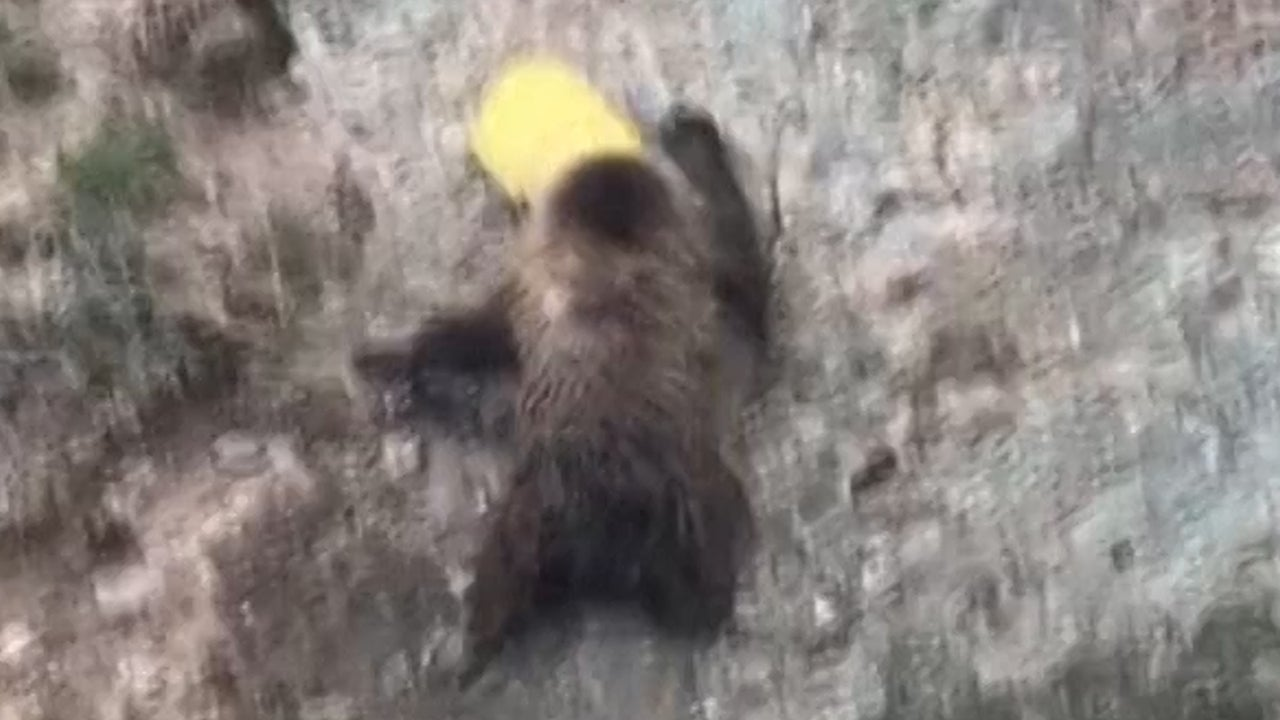 Bear with Head Stuck in Bucket Highlights Plastic Waste Problem