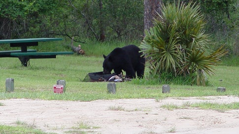 Florida's Ocala National Forest Wilderness Area Closes Due to Increased Bear Activity