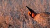 Vulnerable Lesser Prairie-Chickens Return to Colorado