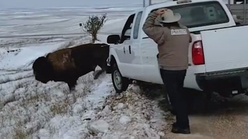 Bison Released into Badlands National Park's New Territory