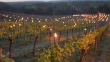 Candles Light Up Vineyard to Fight Spring Frost in England