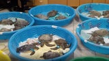 Cold-stunned Sea Turtles Rescued Along Texas Coast