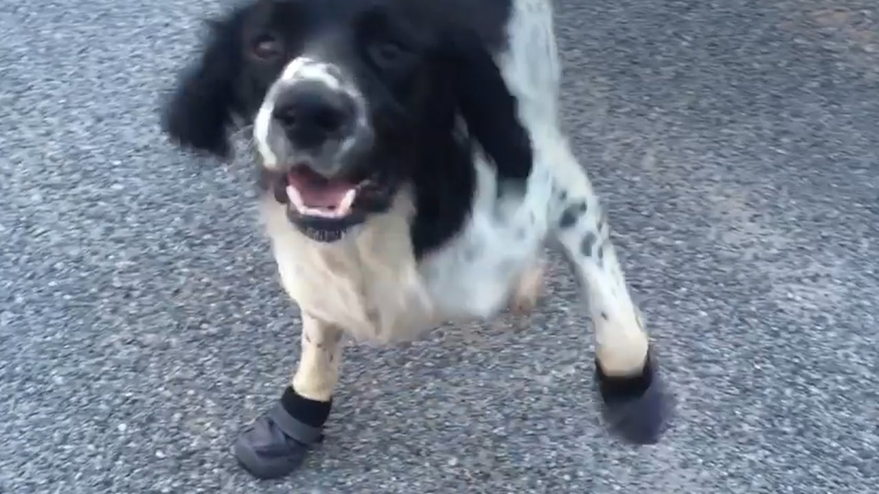 Australian Police Dog Loves New Shoes