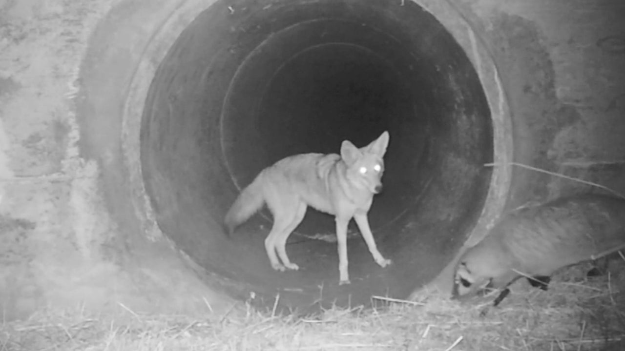 Coyote and Badger Team Up in California