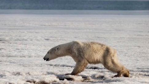 Dieser dünne Eisbär hat sich auf der Suche nach Nahrung nach Russland verirrt
