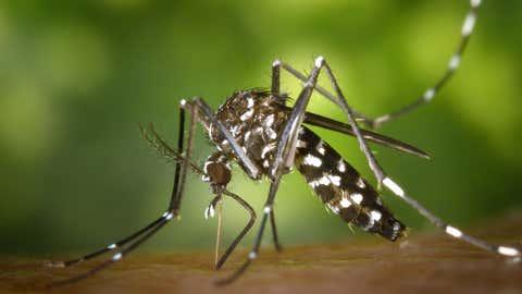 ARCHIV - 01.01.2002, USA, ---: ACHTUNG: DIESER BEITRAG DARF NICHT VOR DER SPERRFRIST, 14. APRIL 00.01 UHR, VERÖFFENTLICHT WERDEN! Eine weibliche Asiatische Tigermücke (Aedes albopicts). (Zu dpa «Klimawandel lockt Mücken in den Norden - Mediziner alarmiert») Foto: James Gathany/CDC/Centers for Disease Control and Prevention/dpa - ACHTUNG: Nur zur redaktionellen Verwendung und nur mit vollständiger Nennung des vorstehenden Credits +++ dpa-Bildfunk +++