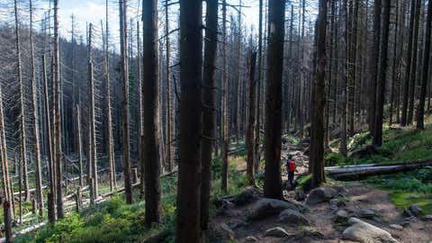 ARCHIV - 11.09.2019, Sachsen-Anhalt, Wernigerode: Wanderer gehen im Nationalpark Harz durch ein Waldstück mit abgestorbenen Fichten. (Zu: «Waldsterben in Sachsen-Anhalt - Waldbesitzer suchen Hilfe») Foto: Klaus-Dietmar Gabbert/dpa-Zentralbild/dpa +++ dpa-Bildfunk +++