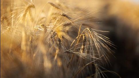 Klimawandel: Neue Gerstenart wächst auch bei Dürre