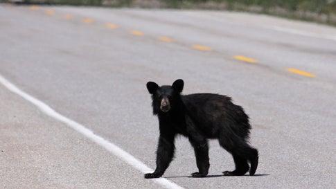 Ein Babytier der Gattung Amerikanischer Schwarzbär