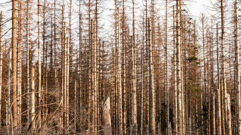 Niedersachsen, Oderbrück: Abgestorbene Fichten stehen zwischen Braunlage und Torfhaus im Harz. Auf einer Gesamtfläche von rund 3000 Hektar sind hier Bäume im Nationalpark Harz vom Borkenkäfer befallen worden.