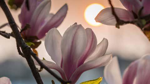 Magnolienbäume haben eine rege nächtliche Aktivität. Foto: GettyImages