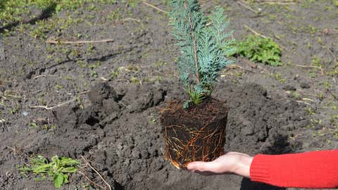 Planting chamaecyparis lawsoniana alumii plant, Lawson cypress sapling with good root system from pot into soil on a sunny spot.
