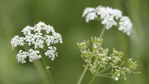 Achtung, diese Pflanzen sind giftig - und heilend zugleich