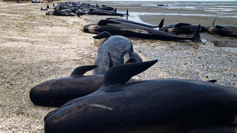 Despite rescuers best attempts many whales often die in mass strandings at Farewell Spit in New Zealand