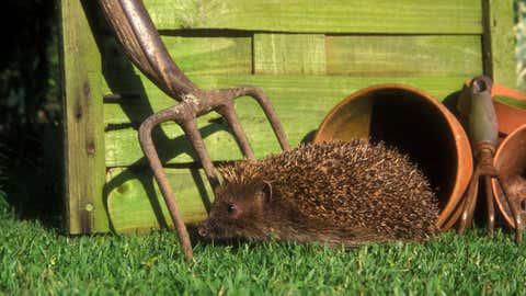 Hedgehog, Erinaceus europaeus, single mammal by flowerpot, UK