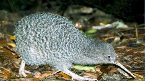Katze oder Kiwi: Neuseeland muss sich entscheiden