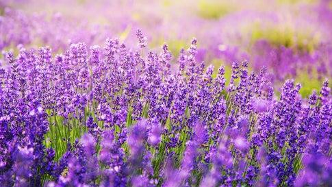 Die ideale Lavendel-Pflege: Tipps zum richtigen Gießen, Schneiden und Standortwahl