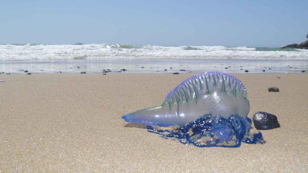 Giftquallen-Alarm: 13.000 Strandbesucher in Australien verletzt