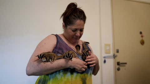 """Lorena Alvarez holds some of her 28 pet """"petauros,"""" or sugar gliders, for which she has a permit, at her home in Buenos Aires, Argentina, Wednesday, Sept. 1, 2021. """"I get up and I live for them. They are my engine of struggle and of life,"""" she said of the animals that scamper over her looking to be petted, or leap and glide down to the floor. (AP Photo/Natacha Pisarenko)"""