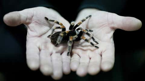"""Nurse Osvaldo Negri holds a tarantula, one of his 60 pet spiders in Lanus, Argentina, Thursday, Sept. 9, 2021. The 50-year-old nurse said he began raising spiders to overcome arachnophobia and that caring for them has helped him cope with working at the hospital in the midst of COVID-19, """"unplugging"""" as he watches and sometimes touches the spiders, feeding them cockroaches. (AP Photo/Natacha Pisarenko)"""