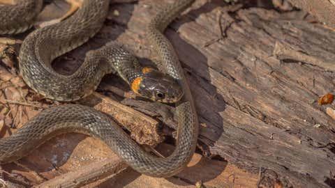 Diese Schlangenarten sind in Deutschland heimisch.