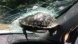 Skurriler Unfall: Autofahrer kracht in fliegende Schildkröte