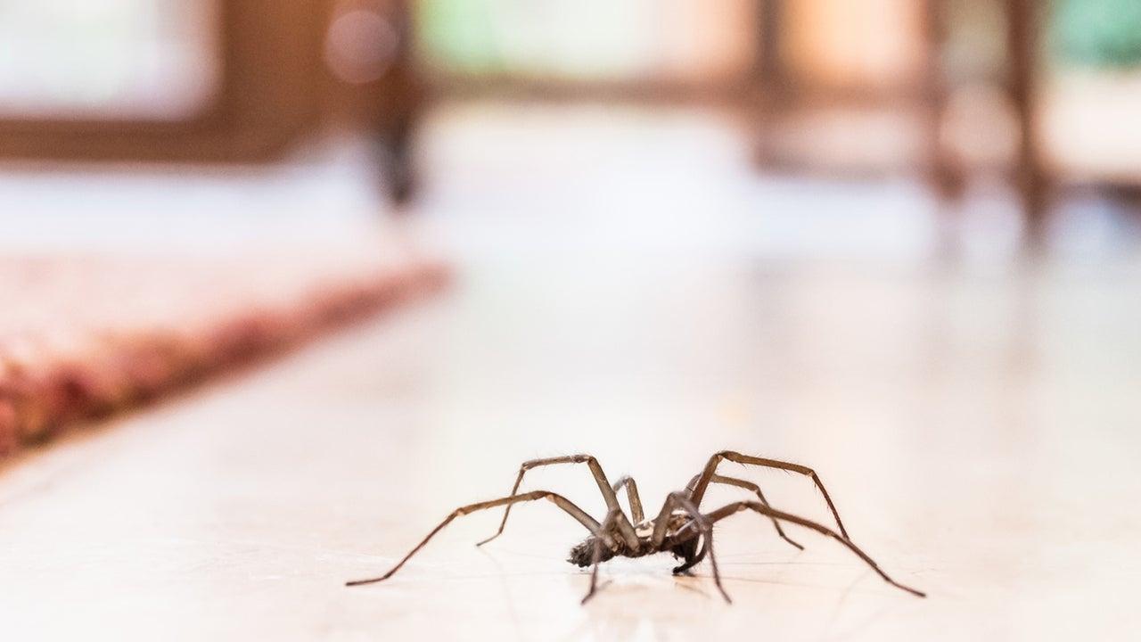 Angst vor Spinnen? Dann wird der Herbst wohl ein Problem. Denn mit der kalten Jahreszeit machen sich die Achtbeiner gern in unserem Zuhause gemütlich.